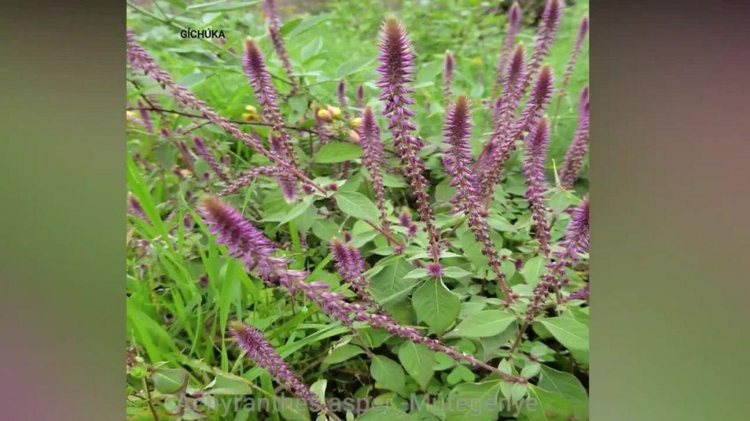 Some Medicinal plants - Gĩkũyũ names