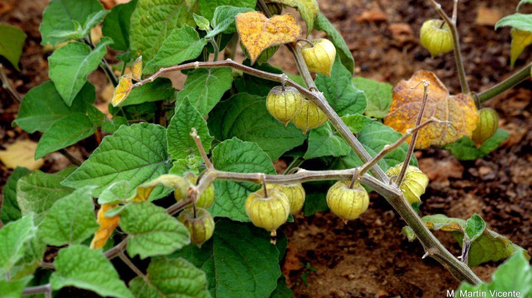 Some Medicinal plants - Gĩkũyũ names Pt 4